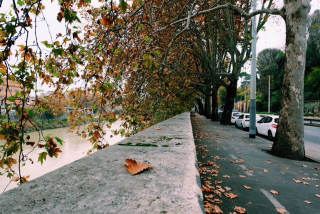 tiber leaves