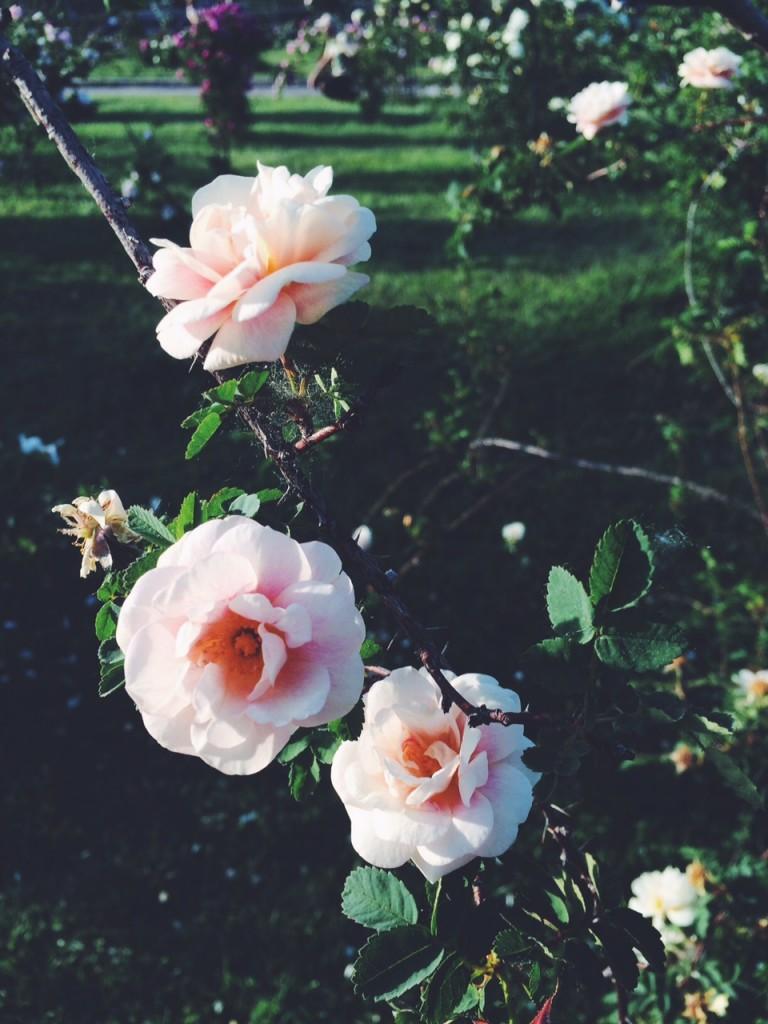circus maximus rose garden
