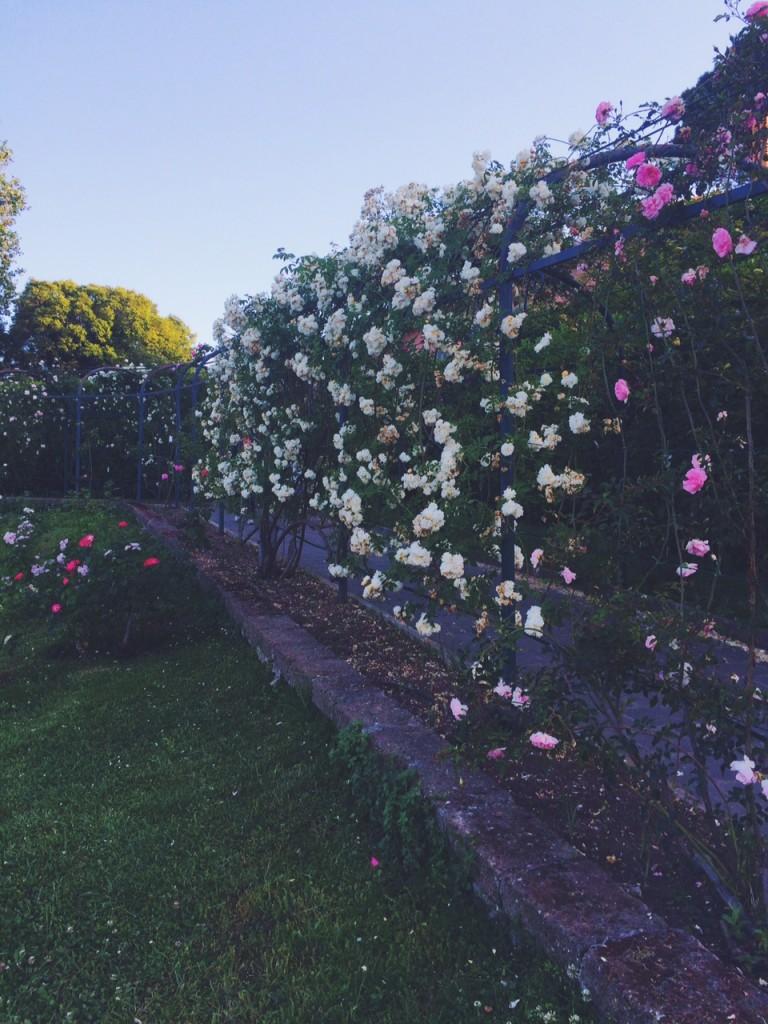 roses circo massimo