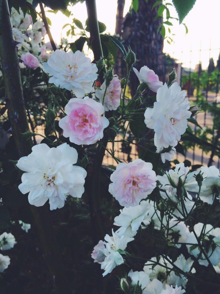 roses in rome