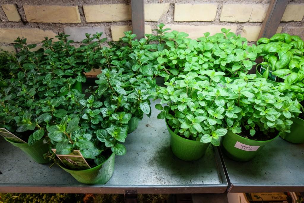 Aromaticus plants