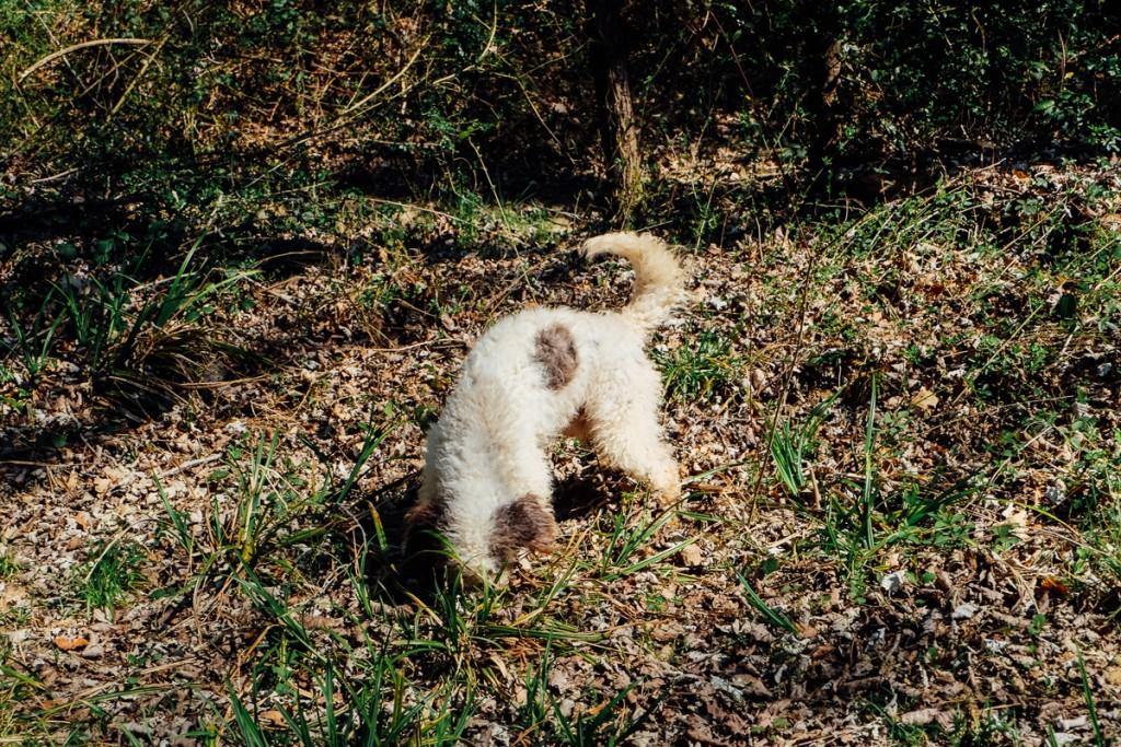 dog digging for truffles