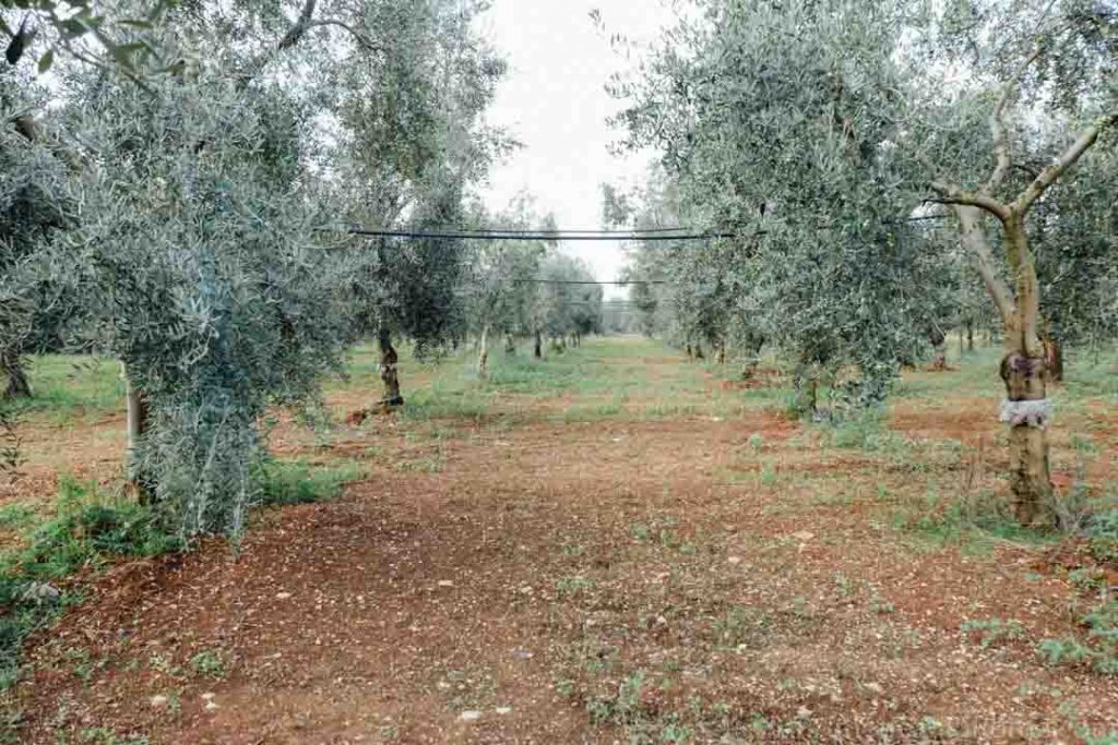 Drip irrigation lines in olive grove Puglia Italy