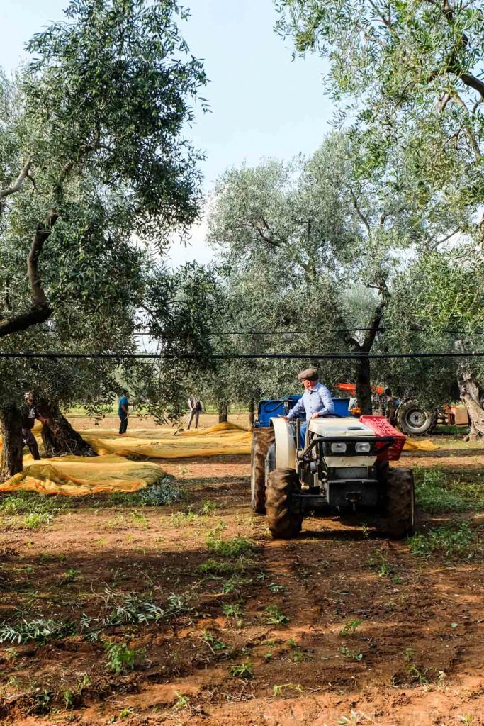 Saverio De Carlo in a tractor during part of the de Carlo olive oil making process