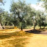 Olives harvested for oil with nets under the trees in Italy