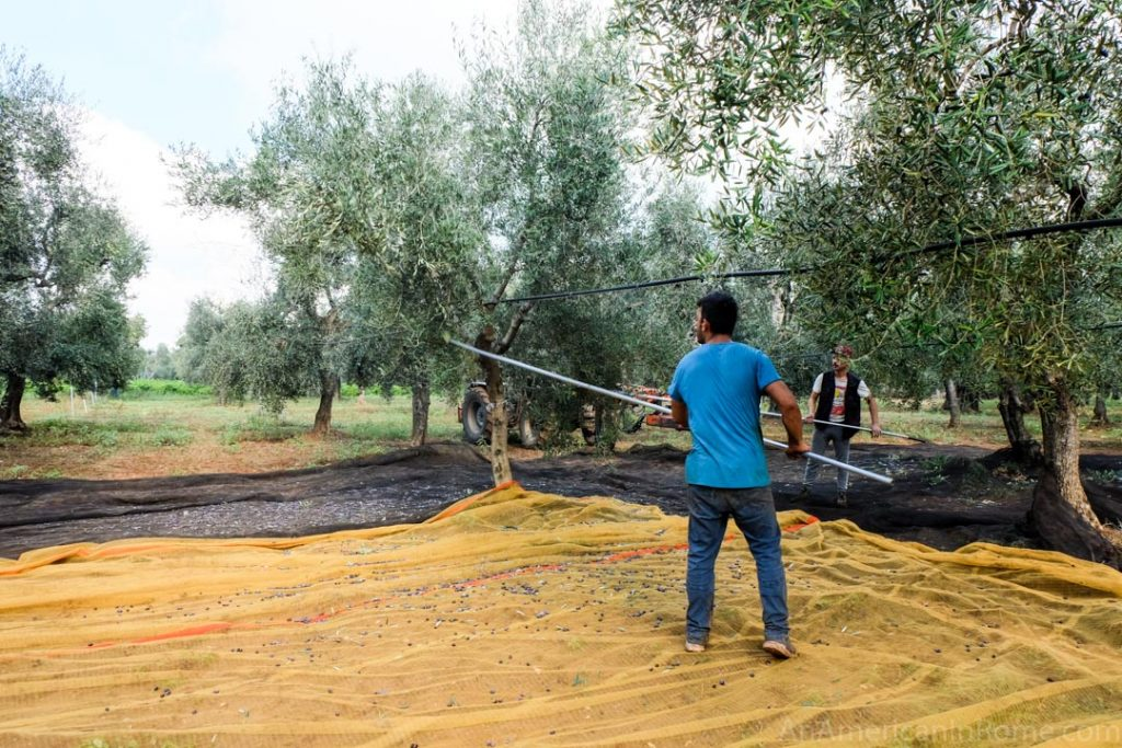 olives being harvested by hand using a pole in Puglia, Italy