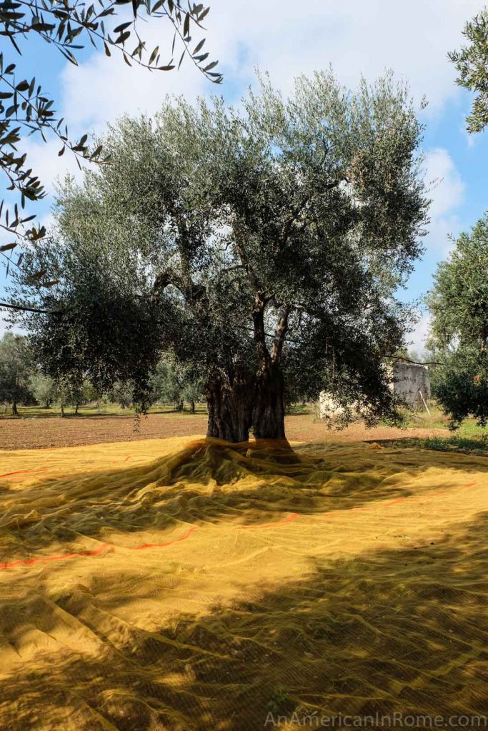 Puglia olive tree surrounded by net for the harvest