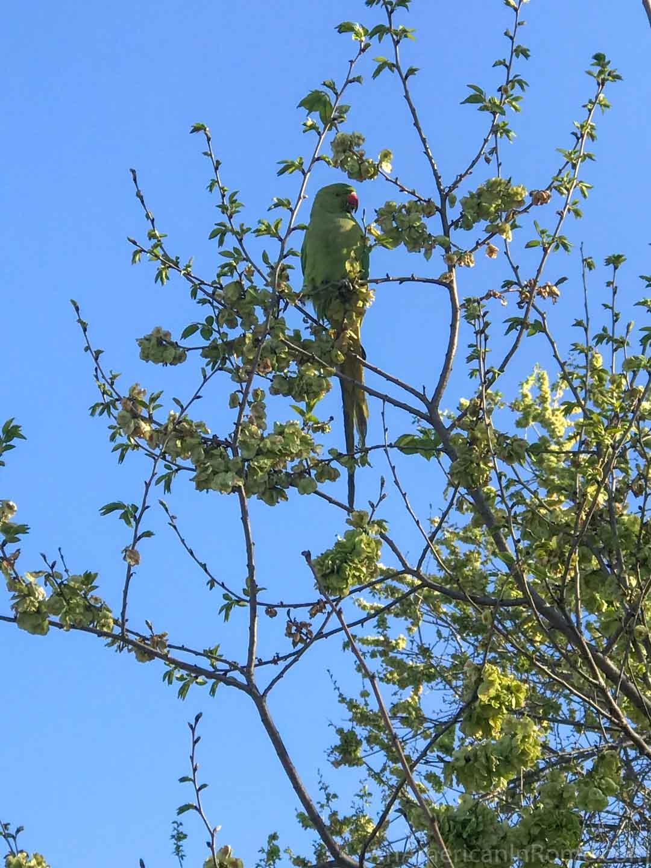green parrot in tree in Rome springtime